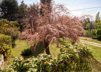 Tamaris en fleurs dans le jardin arboré, ciel bleu, plantes
